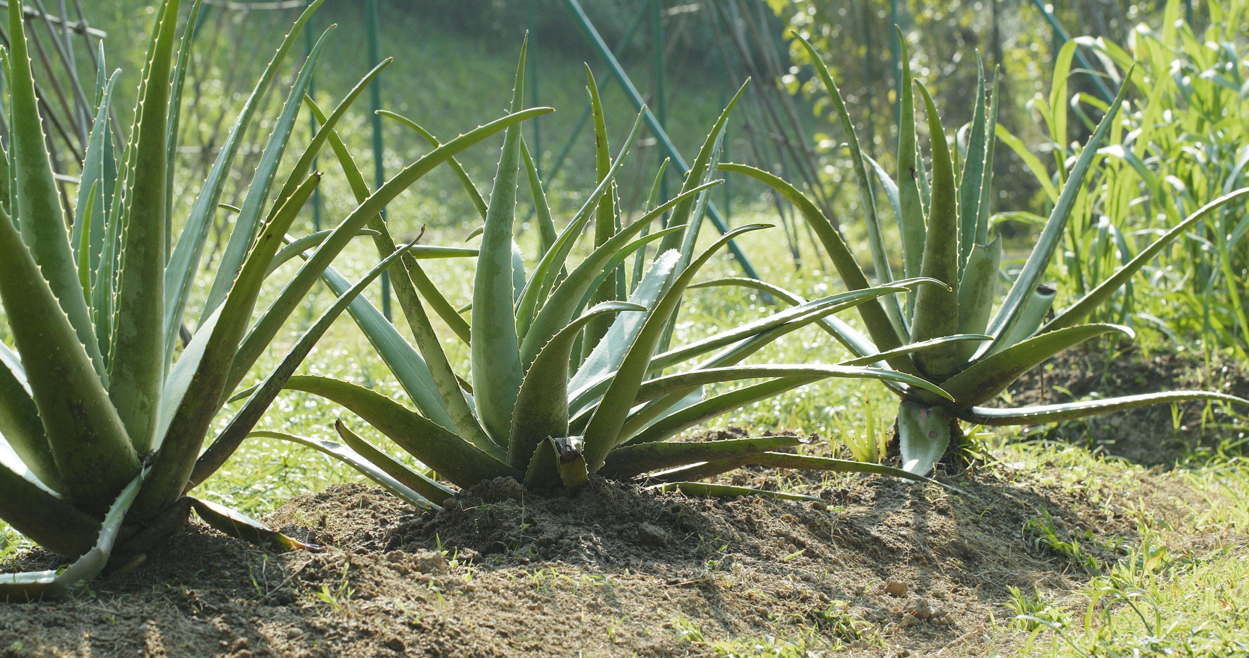 Insbesondere In Nachtcremes entfaltet Aloe Vera eine wohltuende Wirkung.